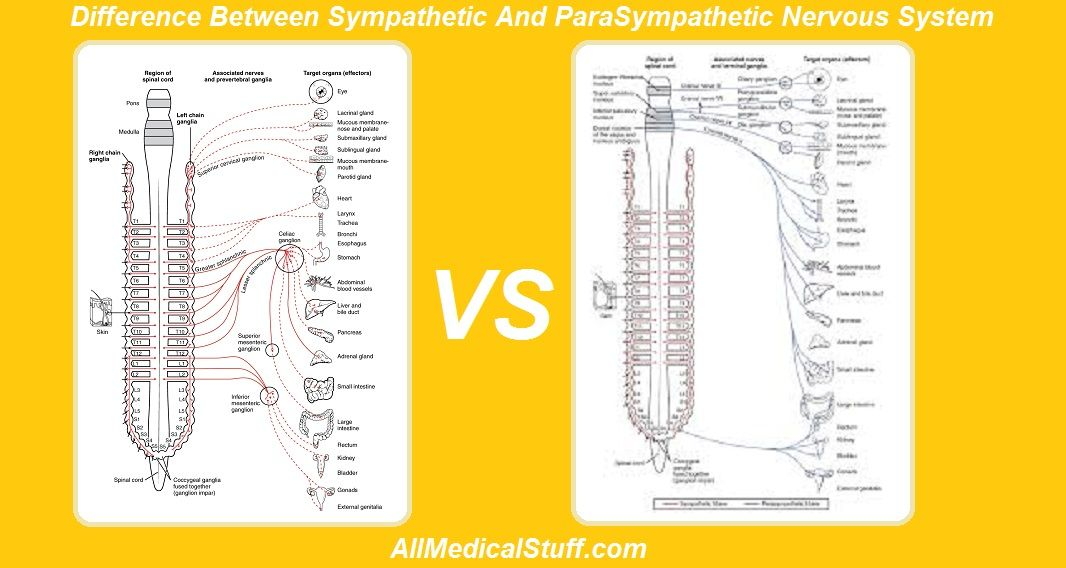 Difference Between Sympathetic And Parasympathetic Nervous System ...
