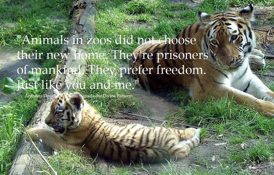 I am against captivity Siberian tiger, Animals wild