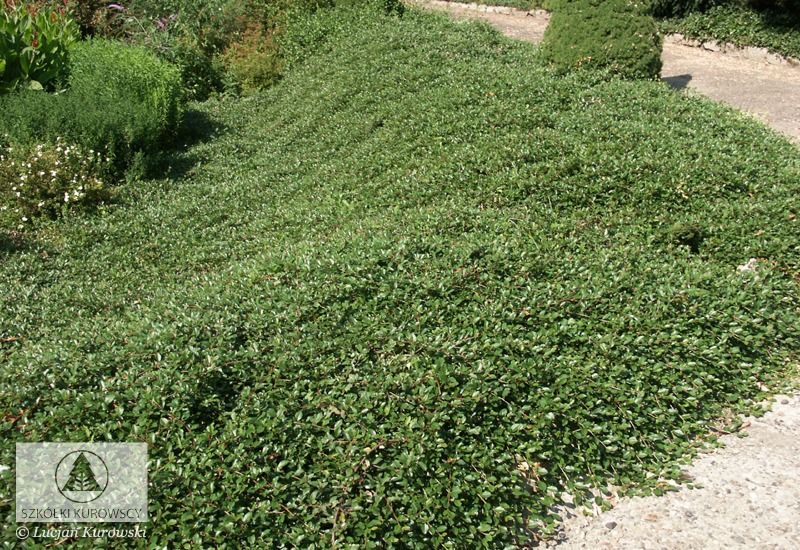 Instead of a lawn cotoneaster dammeri 39 major 39 garden pinterest gardens and plants - Cotoneaster dammeri green carpet ...