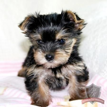Yorkshire Terrier Puppy Brittany Yorkshire Terrier Pitbull Terrier Yorkie Terrier