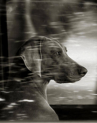 is this a Weimaraner or an Hungarian Visla?
