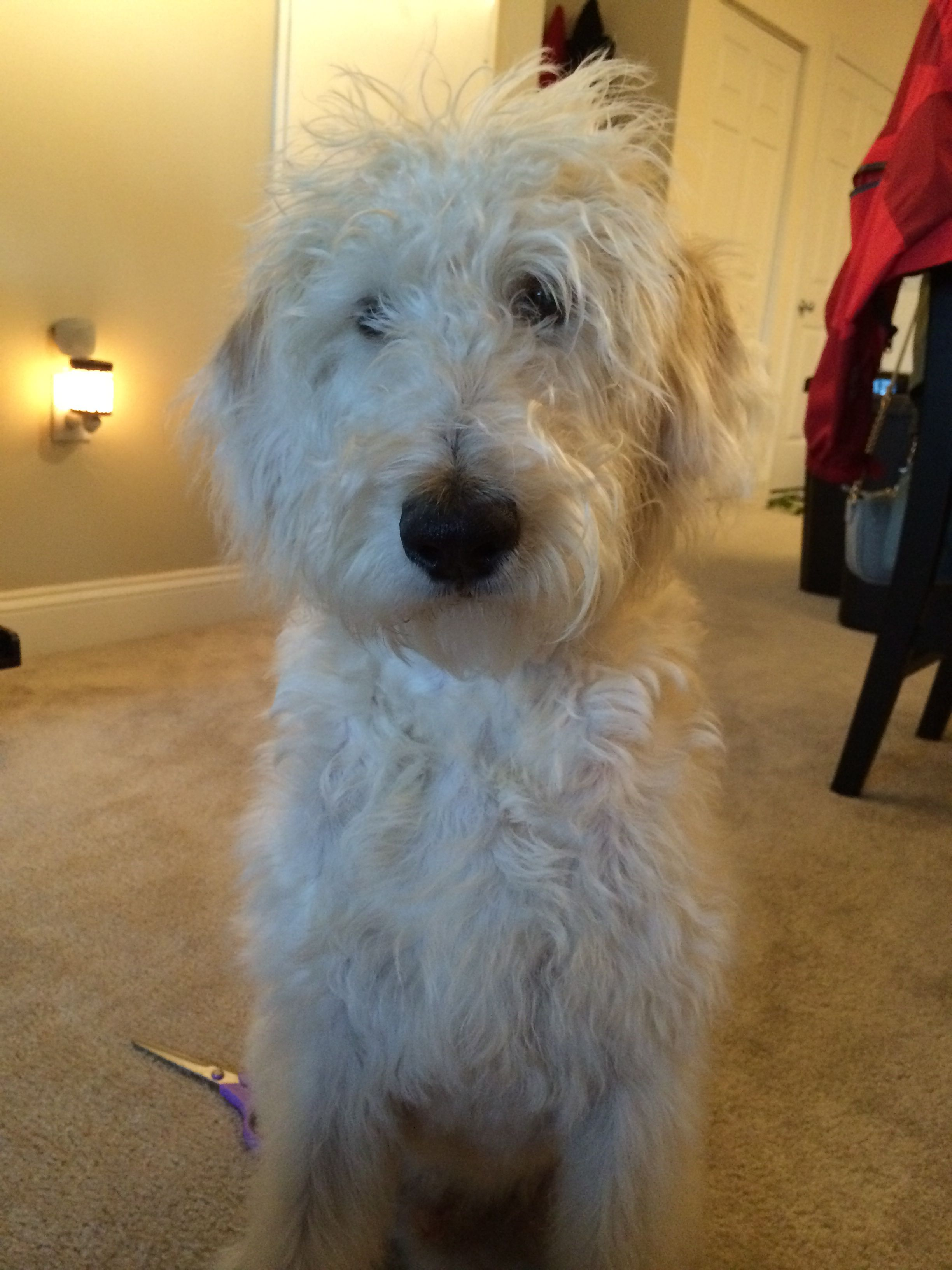 Our labradoodle puppy 6 months old