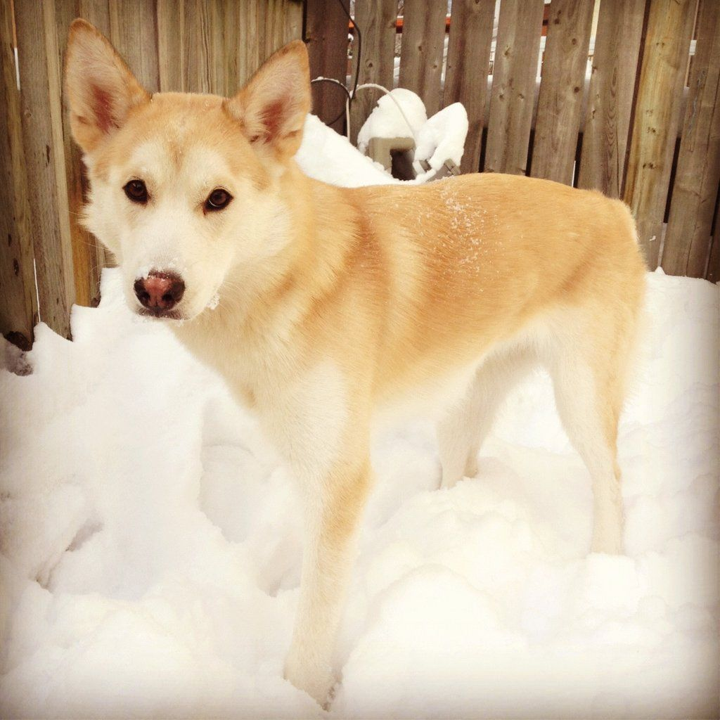 Husky Golden Retriever Mix Photo Album Imgur Labrador
