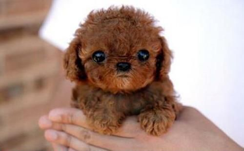 Small Brown Curly Hair Dogs Pictures