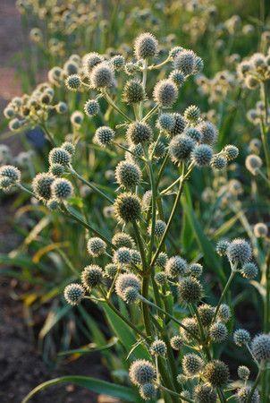 Rattlesnake Master (Eryngium Yuccifolium) : Prairie Nursery : Native Plants