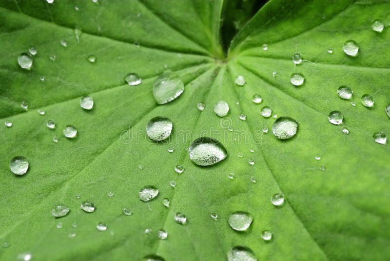 Water Drops on a green Leaf. Several water drops as closeup on a green leaf ,