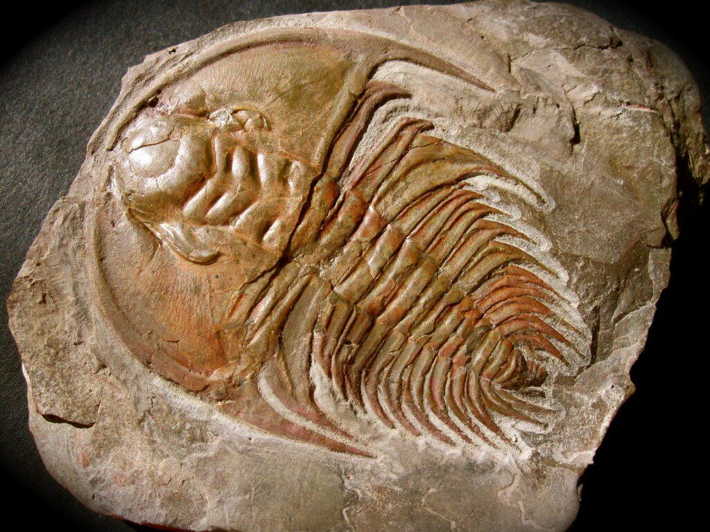 Name: Mesonacis fremonti Trilobite Order Redlichiida, Family Olenellidae Locality: Marble Mountains, California Stratigraphy: Early Cambrian, Latham Shale Formation