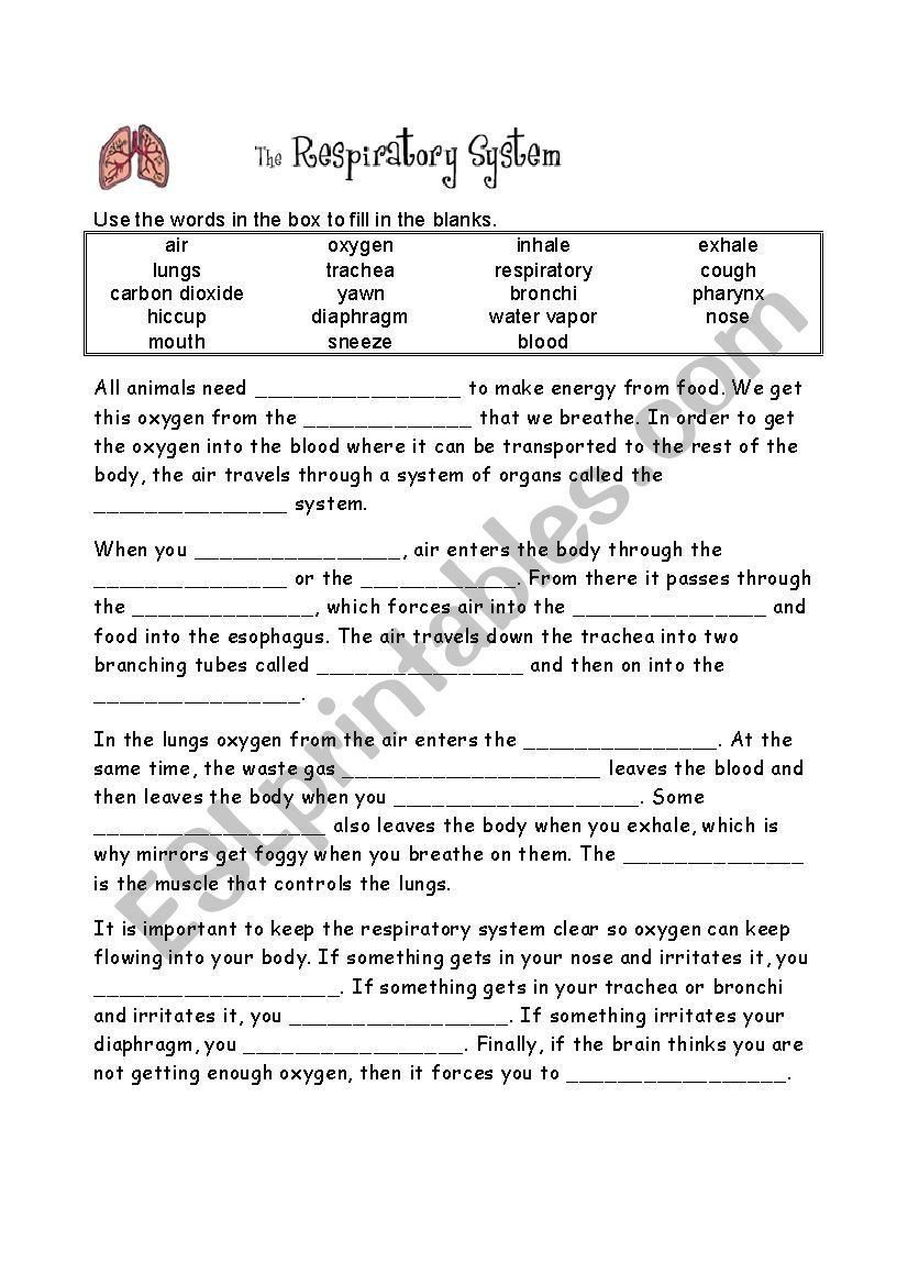 hight resolution of Cellular Respiration Worksheet Answer Key the Respiratory System Worksheet  with Images   Respiratory system