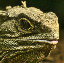 "Tuatara is the only living relative of the dinosaur and are endemic to New Zealand. Often called a ""living fossil, Tuatara are amazing creatures."