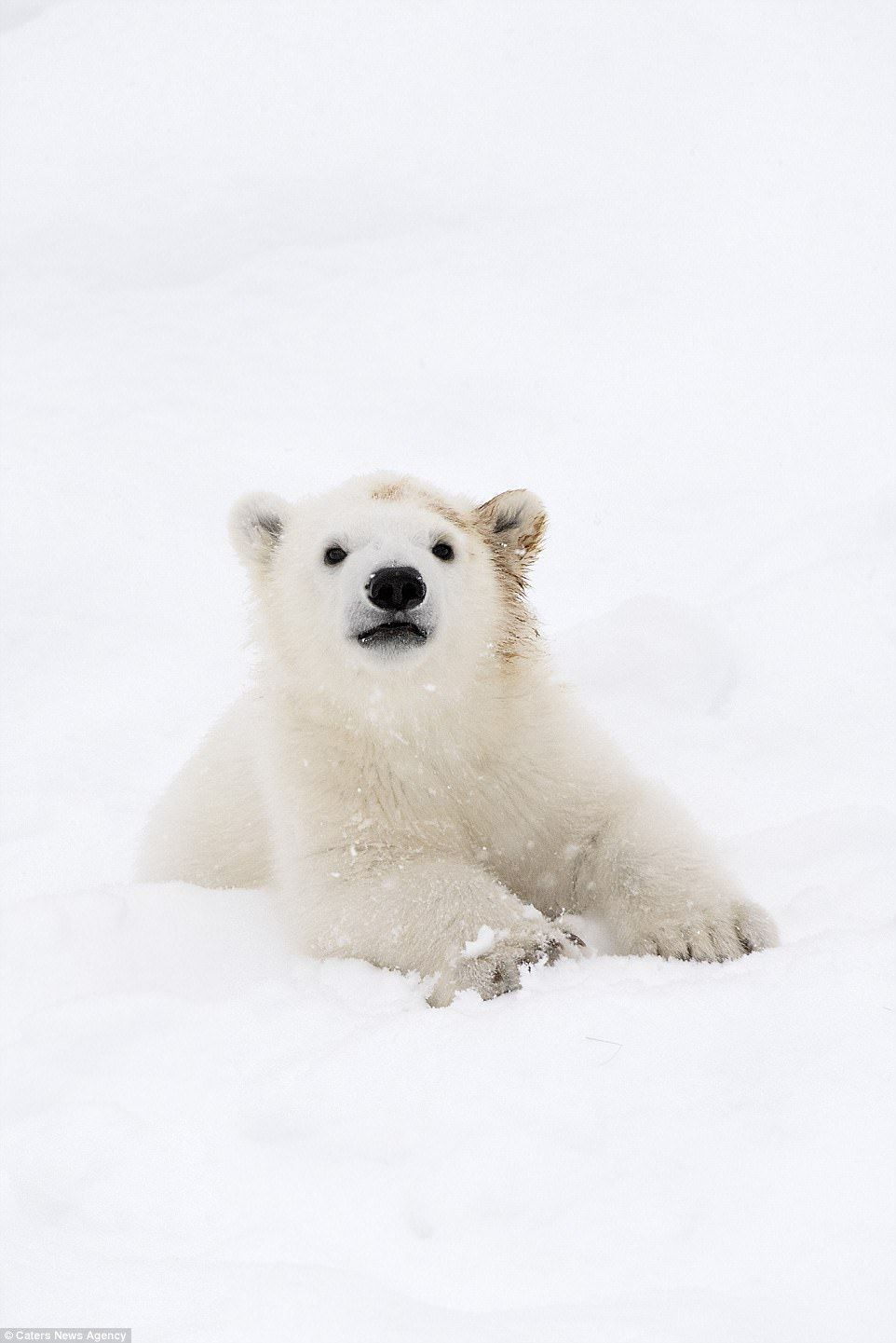 'Where's mum?' - the super cute polar bear can't seem to find his mother and looks confuse...