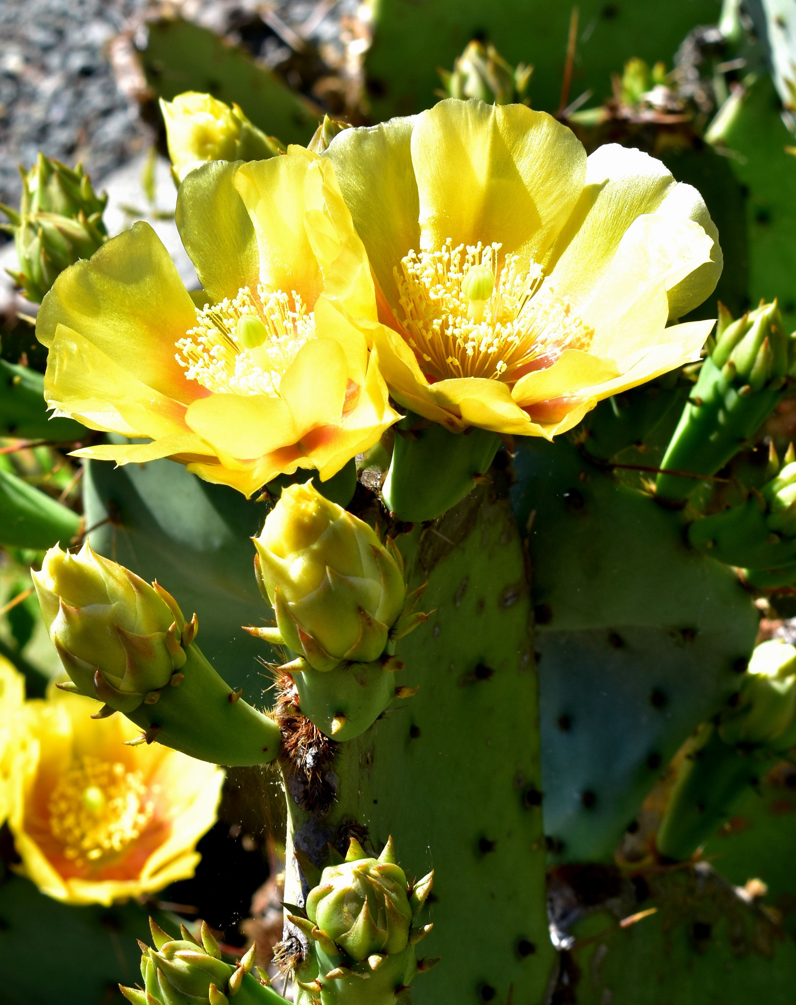 Yellow Cactus Flower Taken In Nc Spring Summer Floral Pics