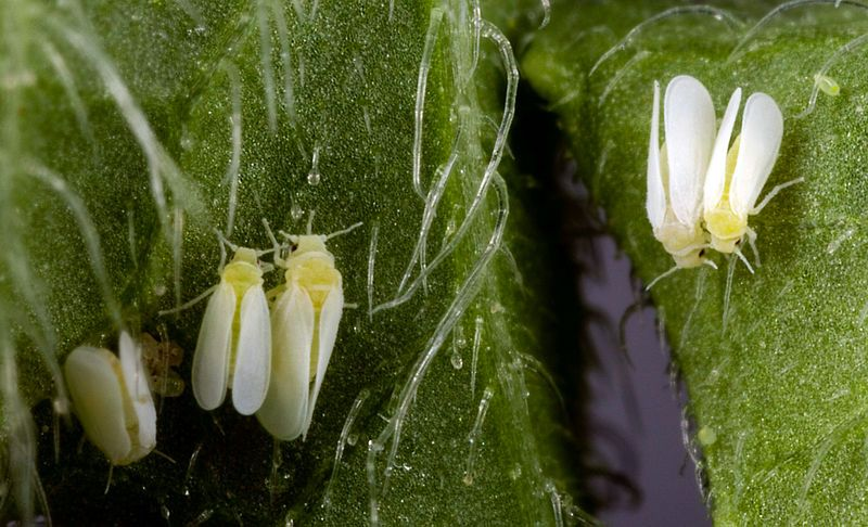 #'Ebola of plants': Can gene sequencing save tropical food staple cassava from whitefly-borne virus? - Genetic Literacy Project: Genetic…