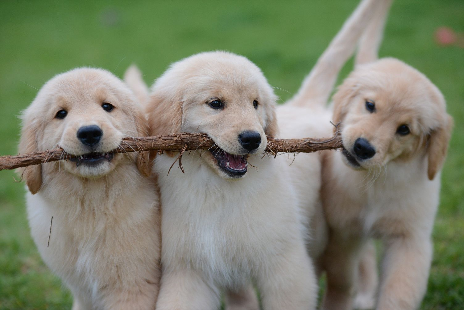 Celebrity Golden S Breeding And Whelping Golden Retriever Puppies