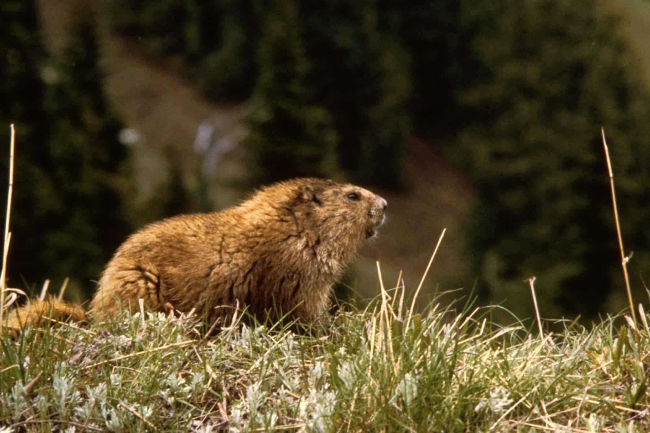 Marmot animal marmota Marmotte