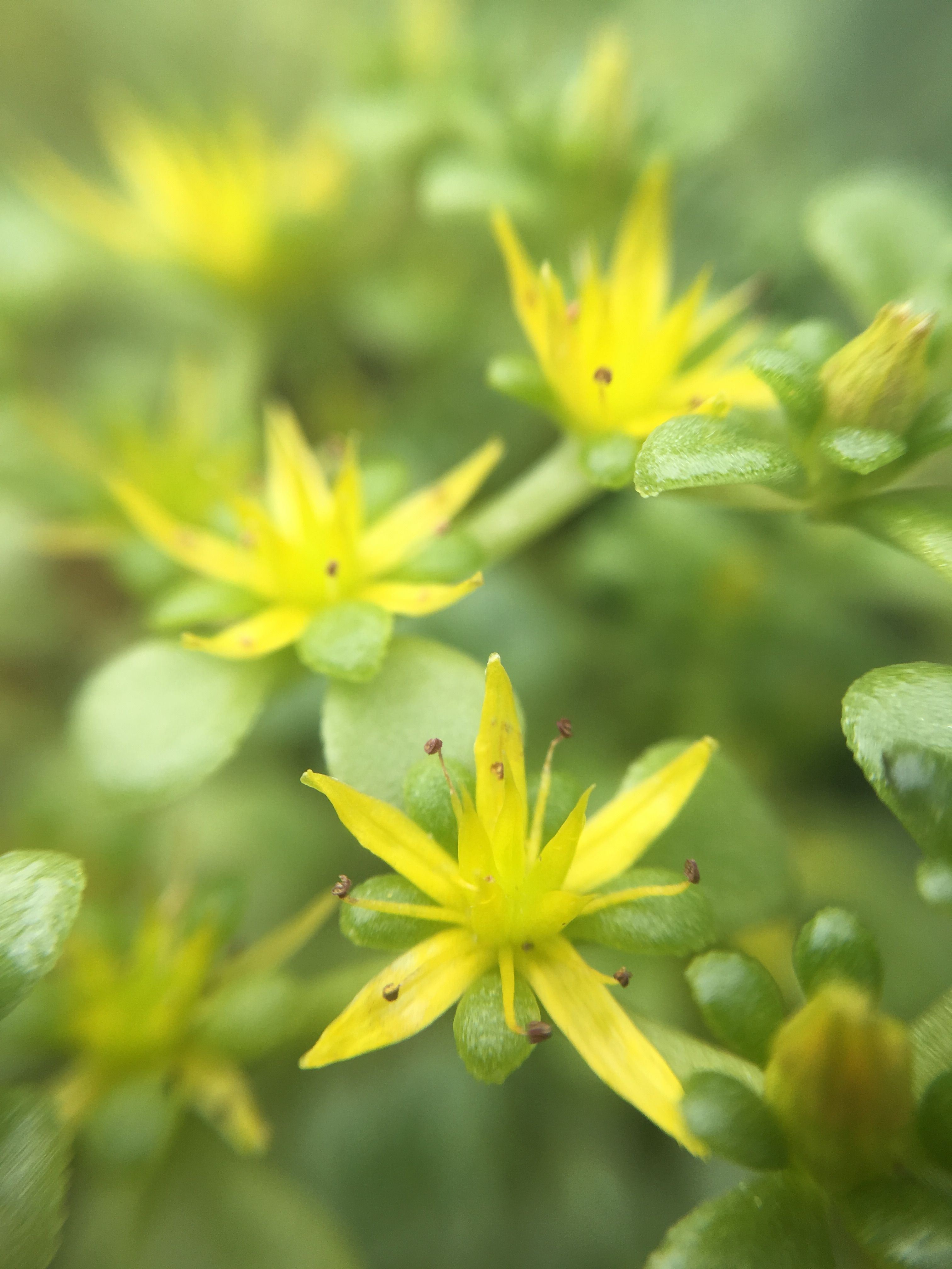 Sedum Green Mound Growing Succulents Yellow Flowers And Flowers