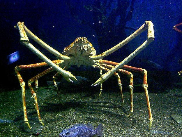 Giant spider crab   Deep sea creatures, Ocean creatures, Scary sea creatures