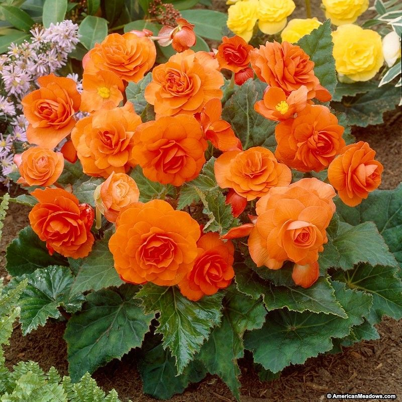 Orange Tuberous Begonia Shade Loving Flowers Flowers Begonia