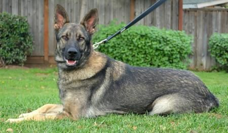Adopt Kamira On German Shepherd Dogs Shepherd Dog Dogs