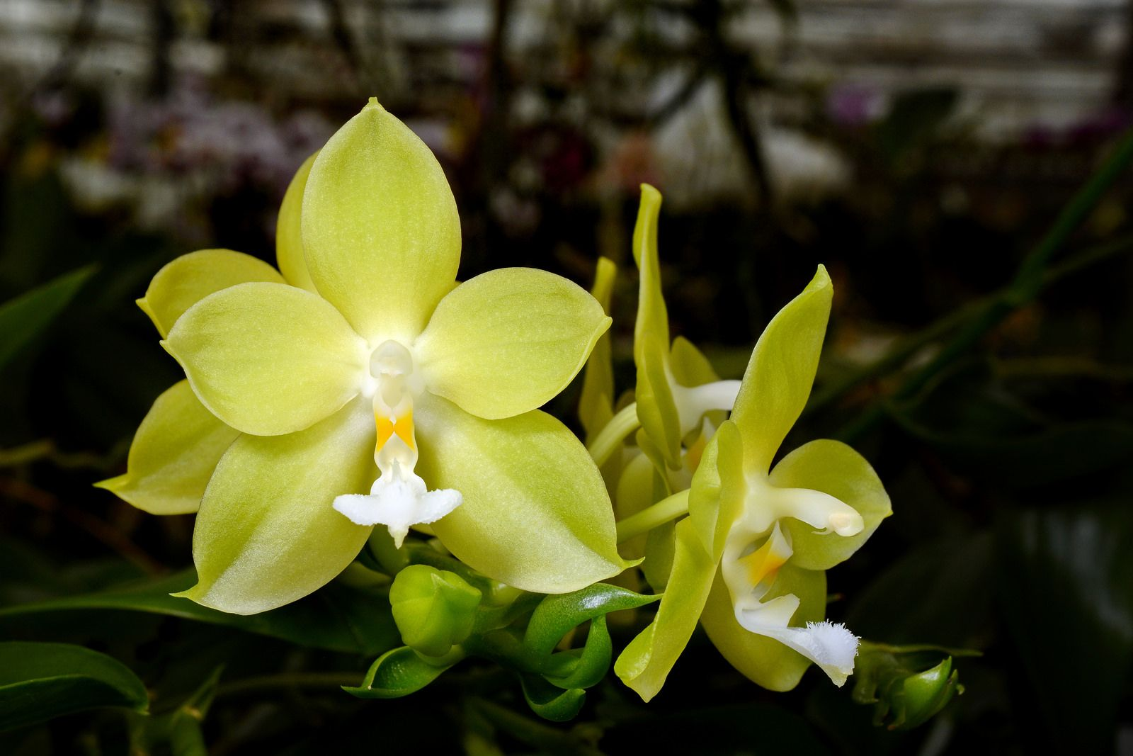 Phalaenopsis Joy Dreamy Jade Green Star Orchid Flower Orchid Photo Beautiful Flowers
