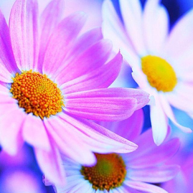 I ❤ daisies