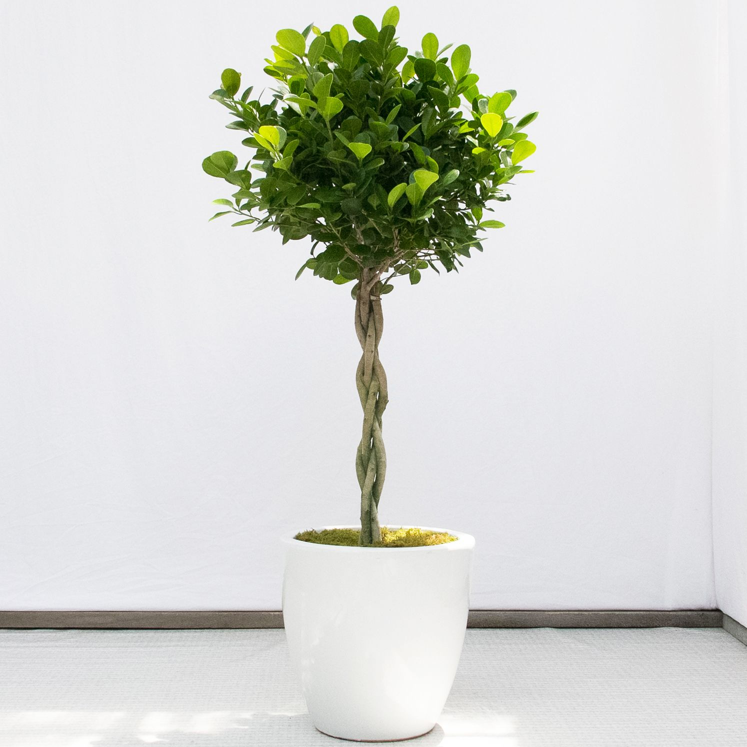Gummibaum Verzweigen Ficus Danielle Braid Fond Of The Ficus This Arboreal Cutie