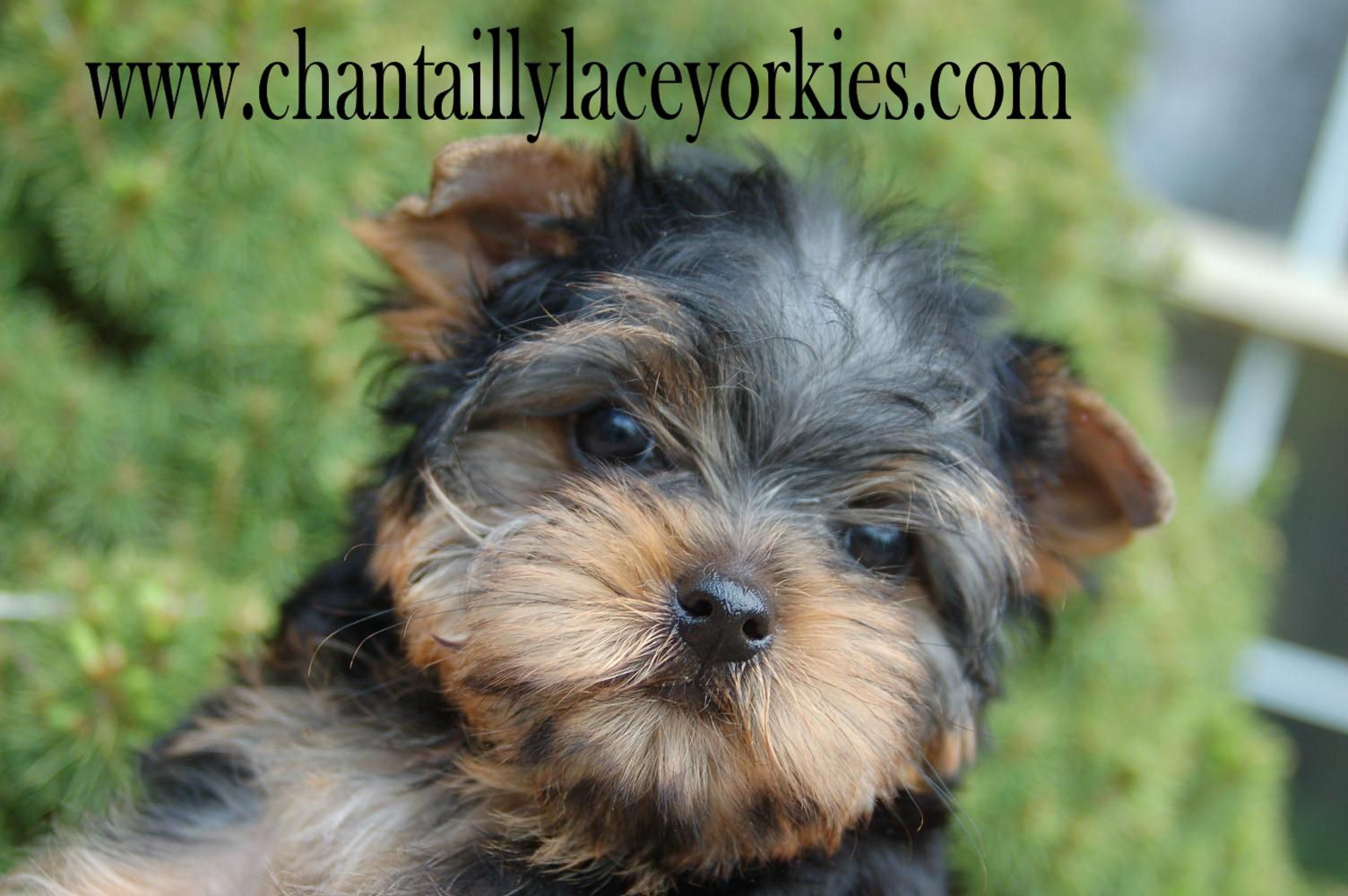 One Of Our Adorable Little Boys Yorkie Yorkshire Terrier Dogs