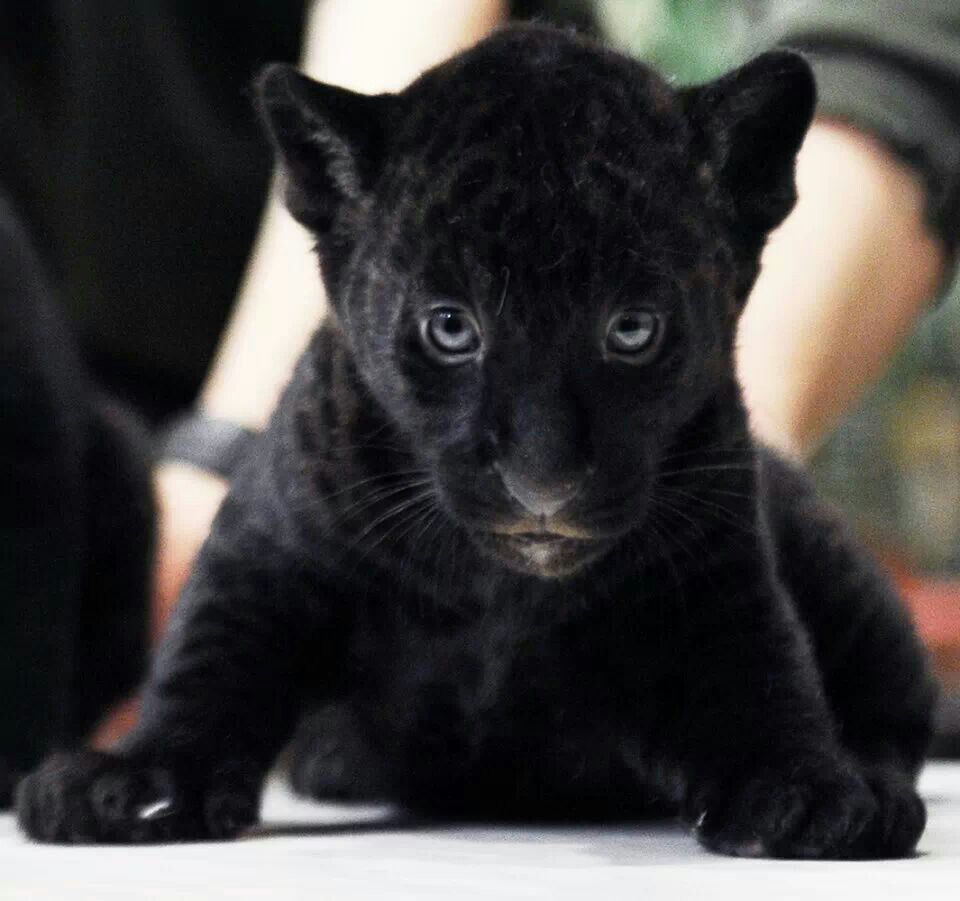 Baby Black Panther With Images Cute Baby Animals Baby Panther