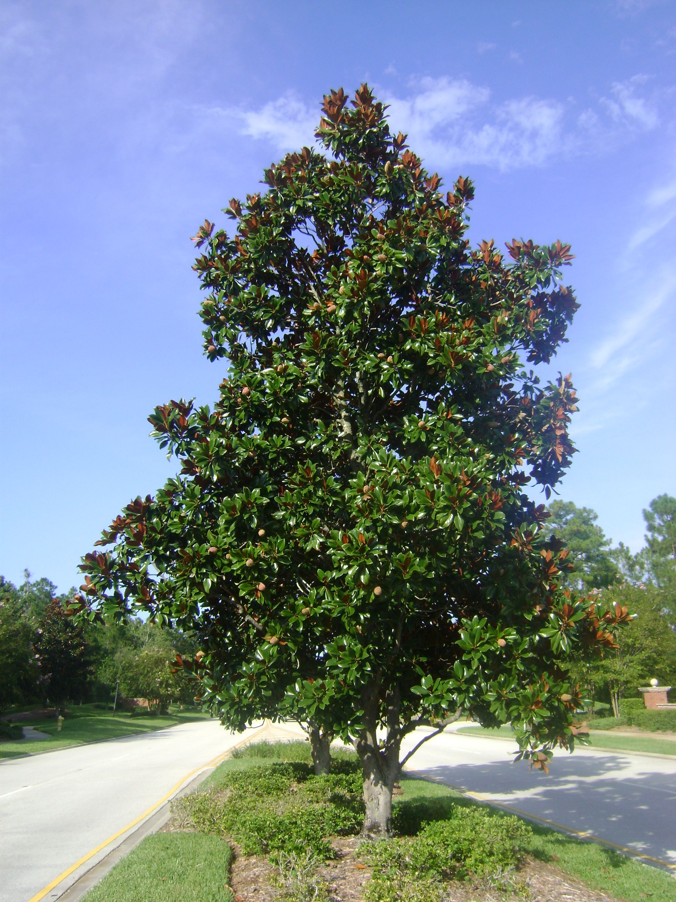 Buy Magnolia Trees For Sale In Orlando Kissimmee Funny