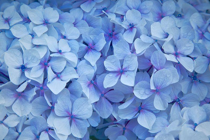 Hydrangea Heaven With Images Blue Hydrangea Flowers Flowers Photos Wallpaper Flower Wallpaper