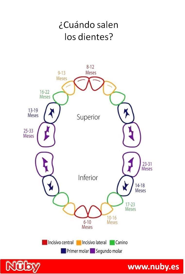 Los Dientes- cuando salen los dientes