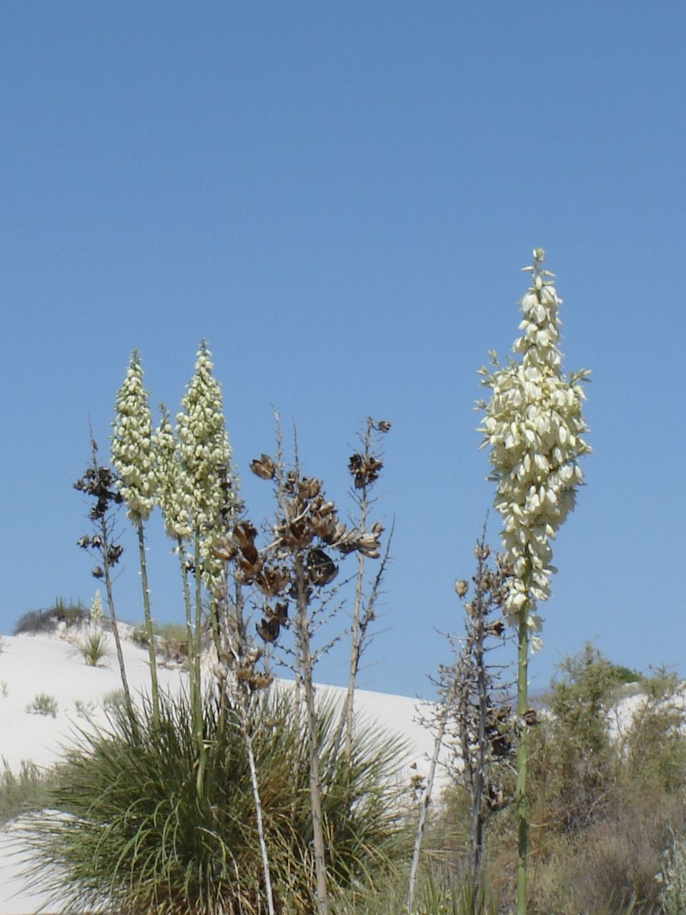 Blooming yucca White Sands National Monument White