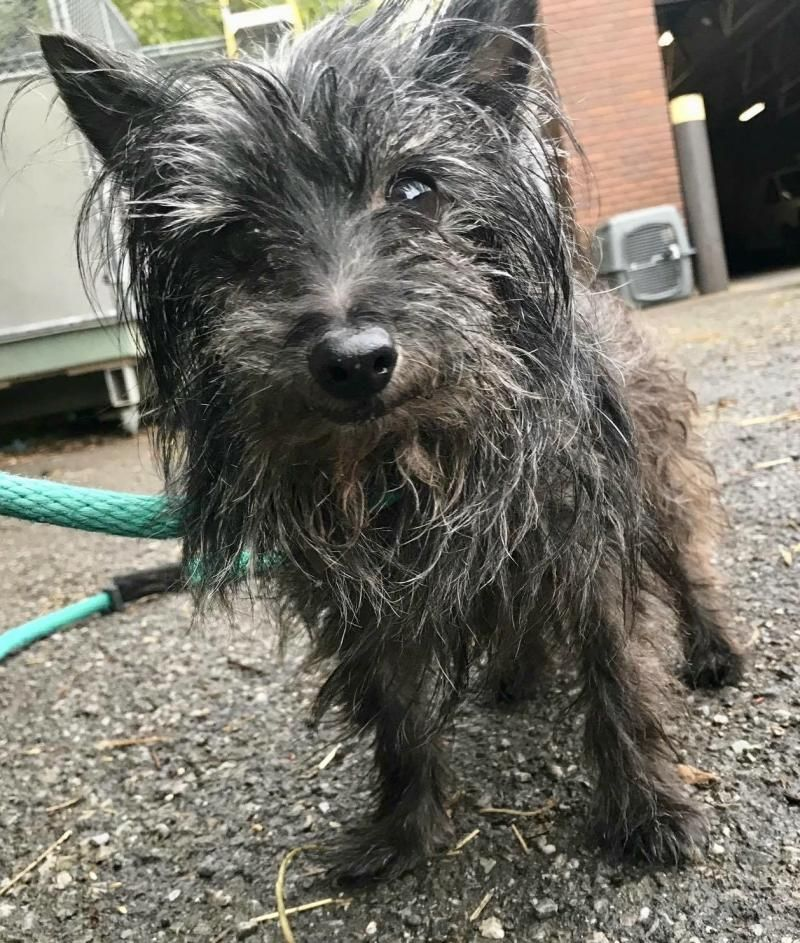 Adopt Chip on Yorkshire terrier, Yorkie, Cairn terrier mix