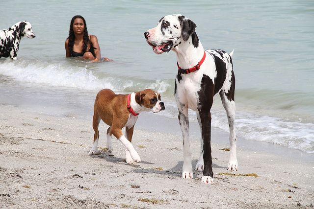 Boxer Puppy Vs Great Dane Great Dane Dogs Dog Beach Boxer Dogs