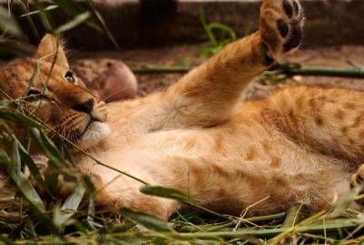 1 van de 3 nieuwe leeuwen welpjes in Safari Park Beekse Bergen.