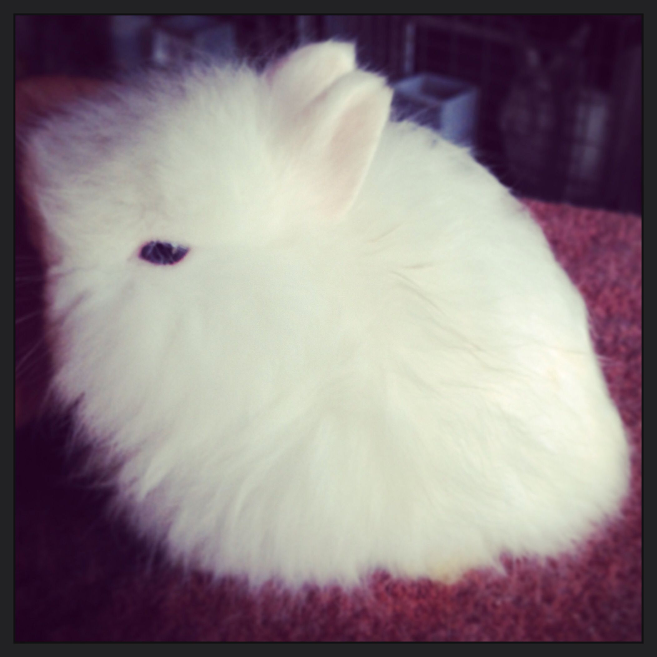Month old Jersey Wooly rabbit. Raising rabbits, Cute