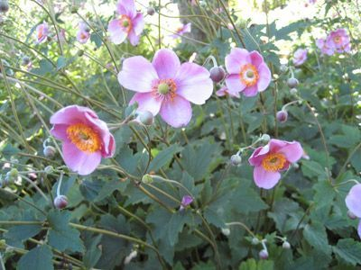 anemone plant Google Search garden Pinterest Plants and