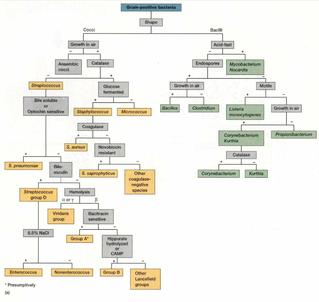 Identification of gram positive bacteria laboratory diagnosis of stuffing nvjuhfo Gallery