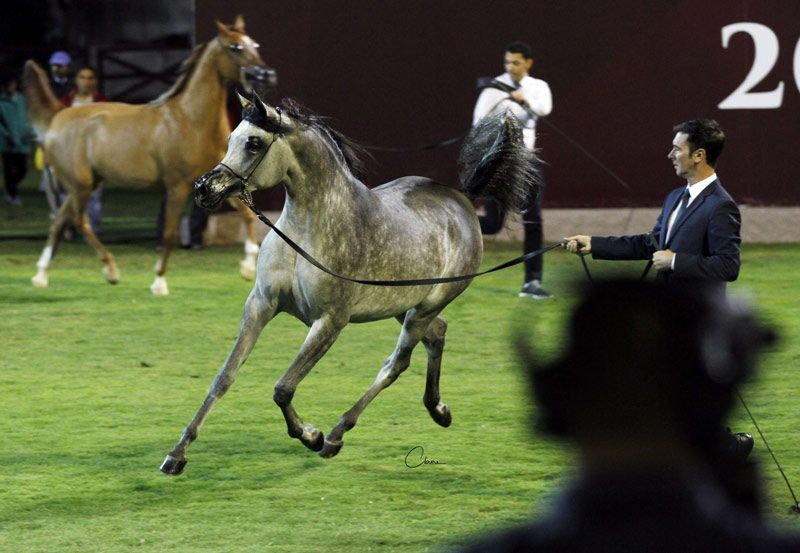 Pin On Arabian Horses News