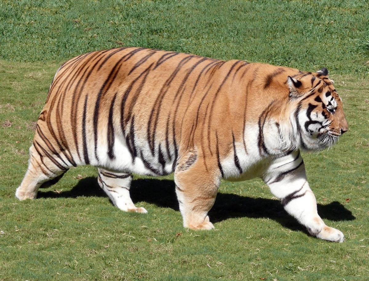 Tigers Powerviolence Random Fat Tiger Fat Animals Animals