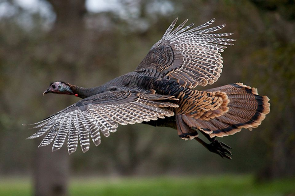 Up-Close Photos of Wild Turkeys Like You've Never Seen | Wild turkey, Wild birds, Pet birds