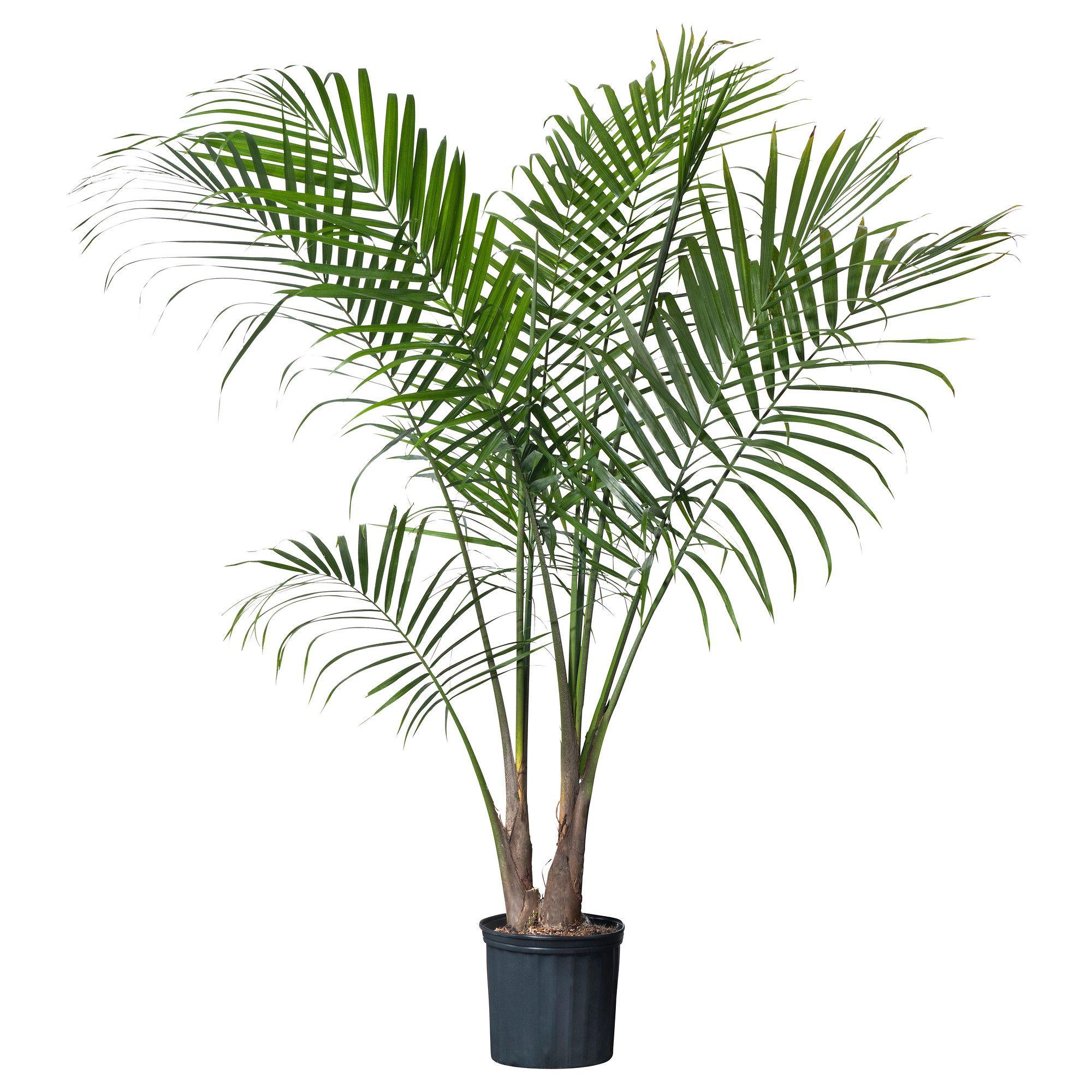 5b8db7f16b9a9112fca4ffd7334d77ca Palm Bark Houseplants on palm shrubs, palm border, palm vector, palm rats, palm drawing, palm flowers, palm roses, palm bonsai, palm shoot, palm pattern, palm chamaedorea seifrizii, palm leaf chickee, palm diagram, palm seeds, palm leaf cut out, palm bamboo, palm christmas, palm tr, palm trees, palm beetle,