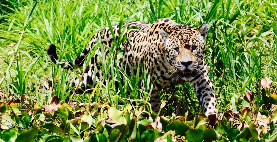 #5 - The jaguar moves thru the undergrowth toward the river's edge and a concealed vantage point where it can get a better look at the caiman's location.