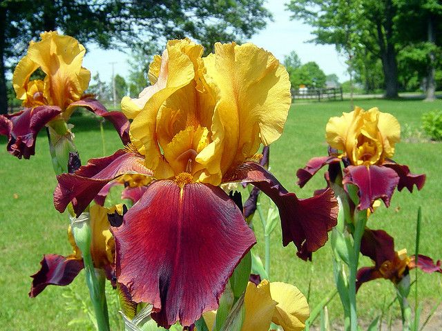 Yellow and burgundy iris flowers.  I have a few of these :)