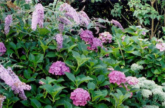 Butterfly Bush And Hydrangea Combo Outdoor Gardens Landscaping Plants Garden Planning