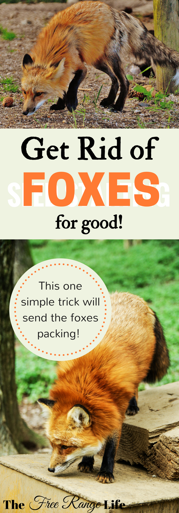 The Number 1 Way To Get Rid Of Foxes For Good Chickens Backyard Free Range Chickens Fox