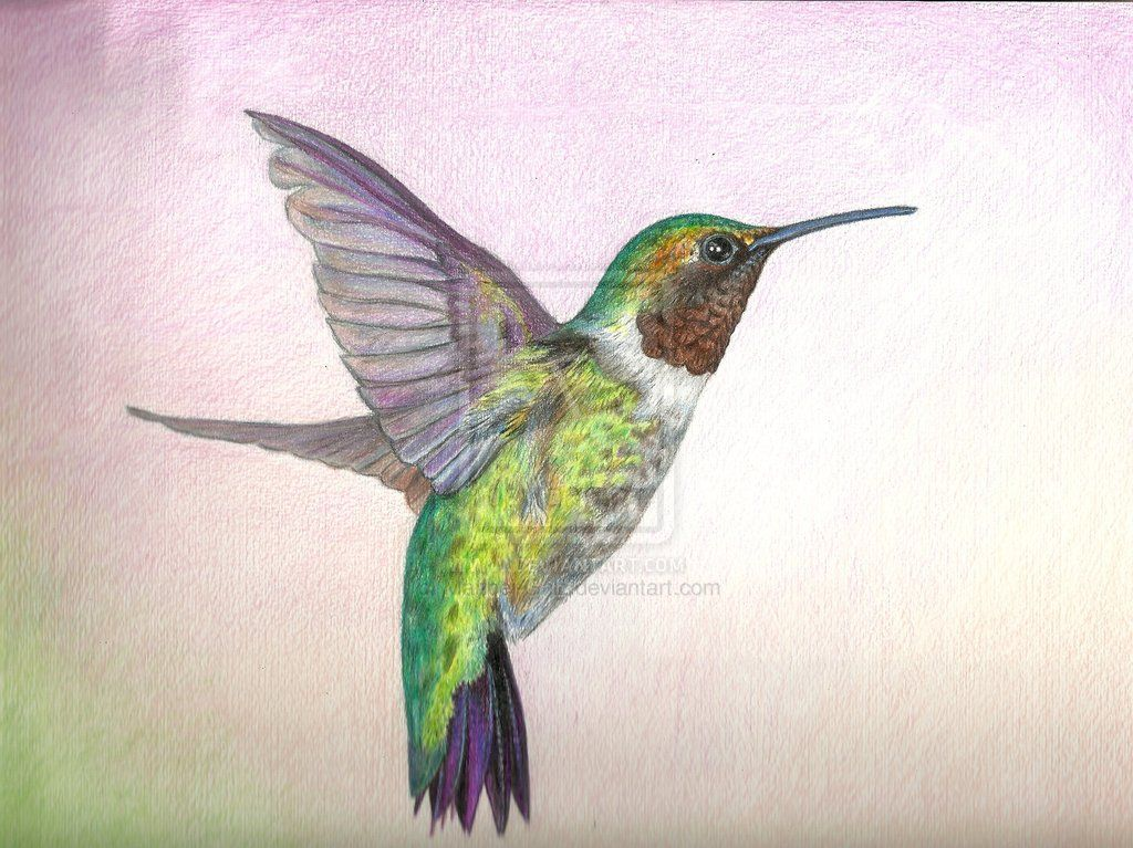 Colored Pencil Drawings Of Animals Hummingbird Color Drawings