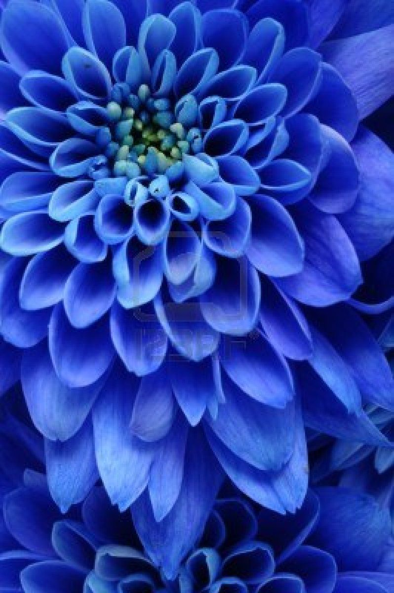 Close Up Of Blue Flower Aster With Blue Petals And Yellow Heart Blue Flowers Blue Dahlia Flowers