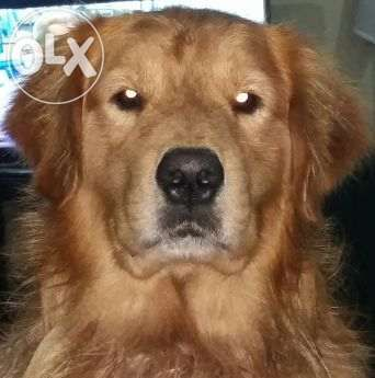 Golden Retriever Stud Home Service For Sale Philippines Find New