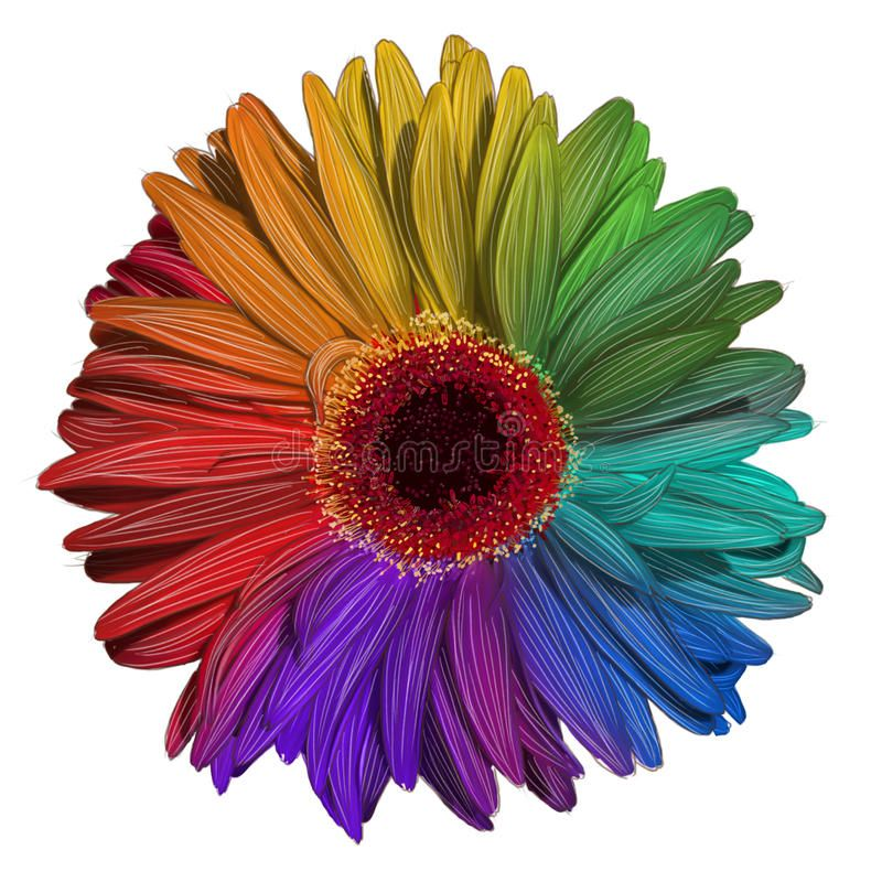 Drawing Of Colorful Gerbera Flower Stock Illustration