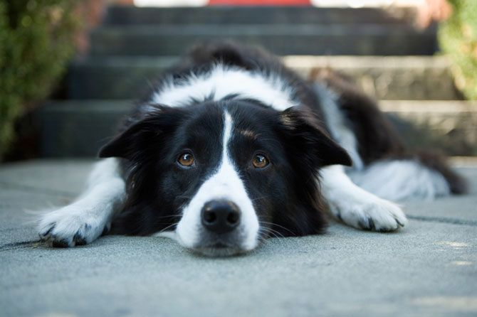 Border Collie Dogs Naturally Magazine Epilepsy In Dogs Lyme